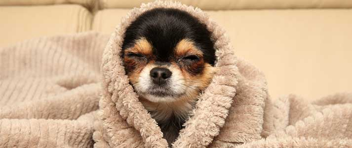 happy chihuahua in a blanket