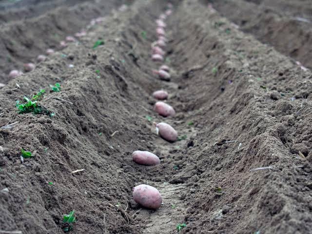 How to plant potato